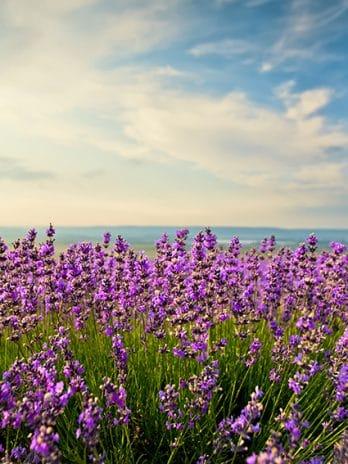 002.16 Lavendel
