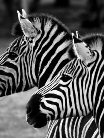 005.15 Zebra's