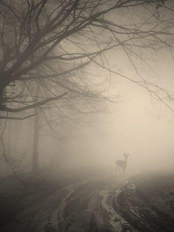 005.27 Misty forest met hert