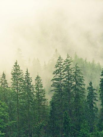 009.66 Dennenbos in de mist