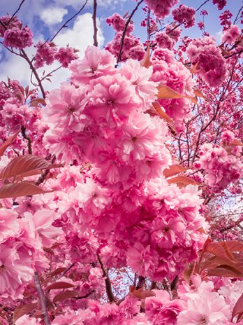 052.01 Sakura, kersenbloesem